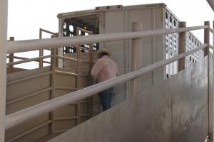 loading livestock